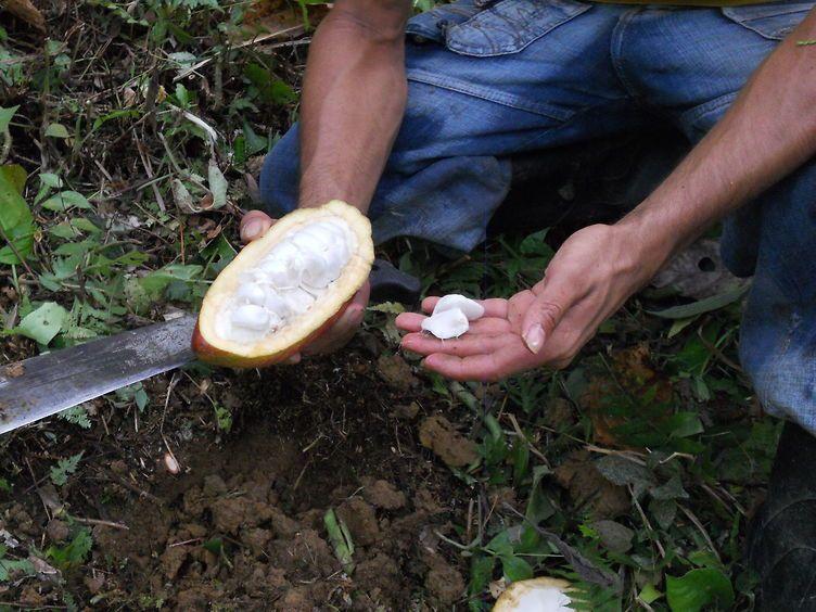 cabossa di cacao appena aperta con le fave fresche