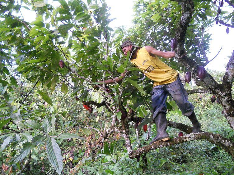in cima all'albero del cacao